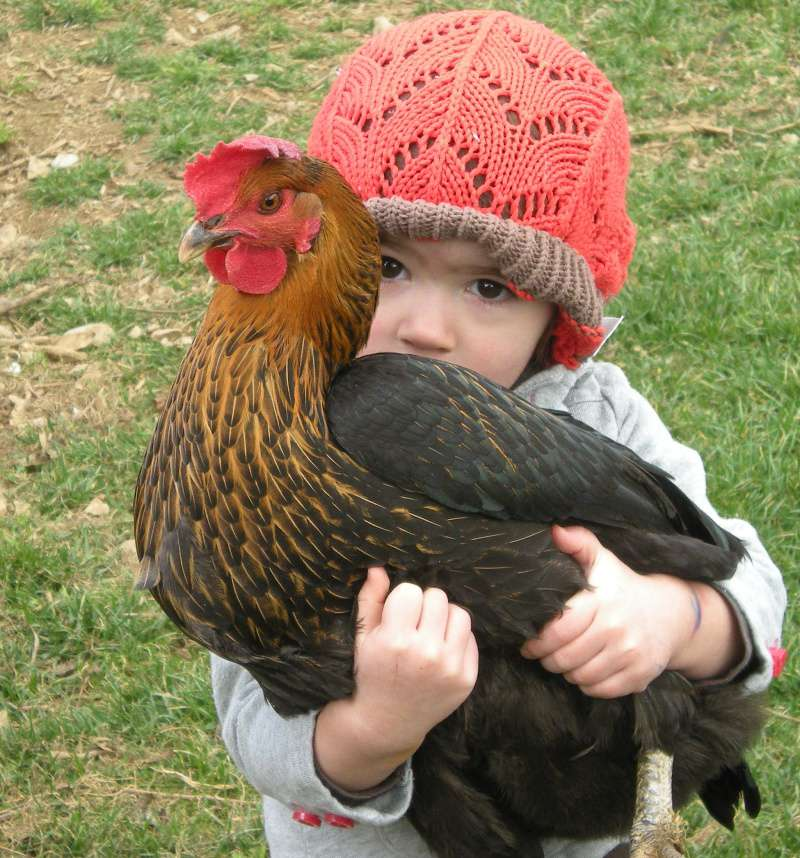 Adotta una gallina… anzi 3!