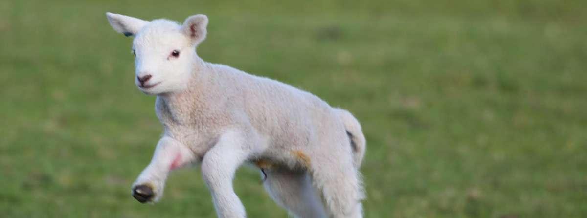 Salva un agnello se vuoi che sia veramente Pasqua!