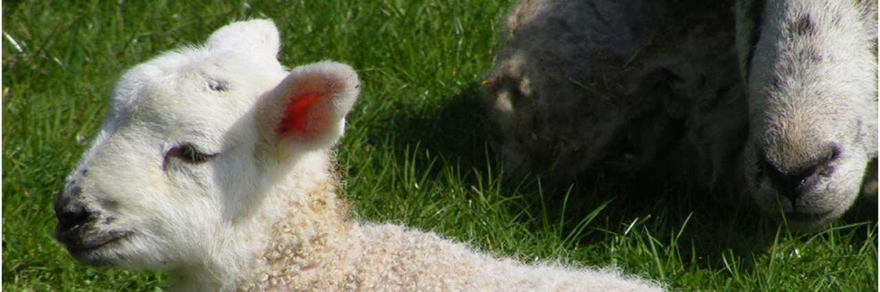Adotta un agnellino se vuoi vederlo crescere…