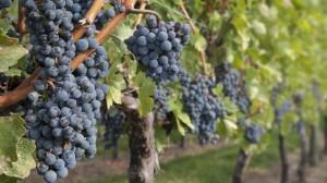 filare-uva-particolare