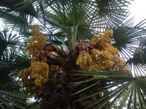 fiori-di-palma