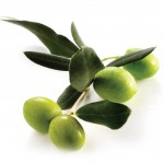 ramo-di-olivo