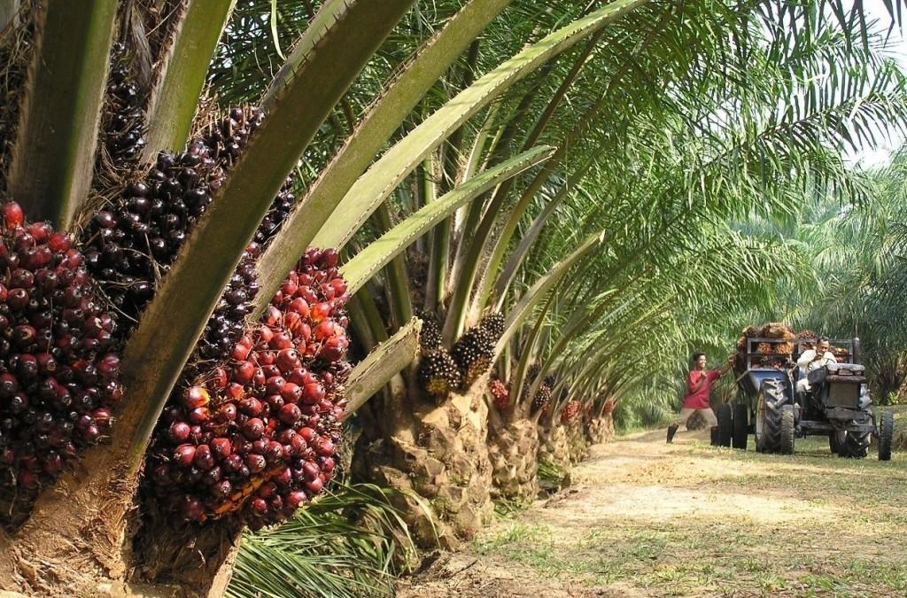 palme-e-frutti-per-olio-di-palma